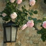 Lantern and Roses